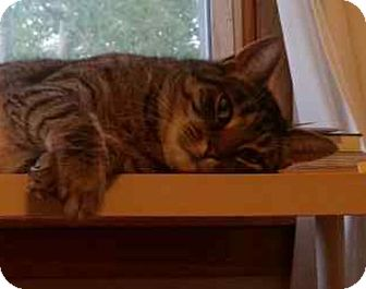 American Shorthair Cat for adoption in Bowie, Maryland - Leonardo (COURTESY POST)