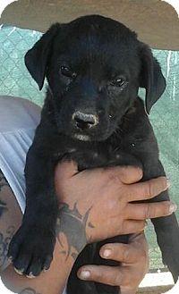 Labrador Retriever/Shepherd (Unknown Type) Mix Puppy for adoption in Las Vegas, Nevada - Lexi's Lashes