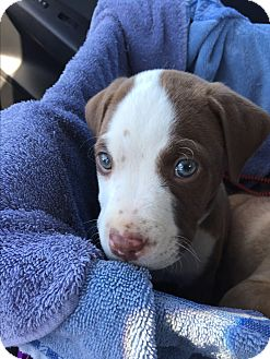 Labrador Retriever/Pit Bull Terrier Mix Puppy for adoption in Fort Atkinson, Wisconsin - Hershey