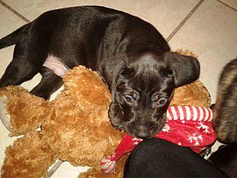 Labrador Retriever/Labrador Retriever Mix Puppy for adoption in Hollywood, Florida - PUPPY 1