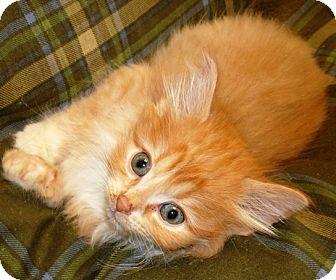 Domestic Shorthair Kitten for adoption in Kalamazoo, Michigan - Tabasco