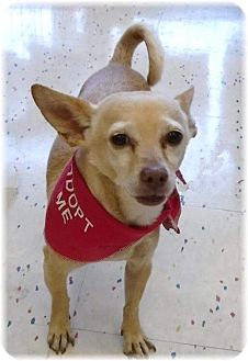 Chihuahua Mix Dog for adoption in Las Vegas, Nevada - Candy