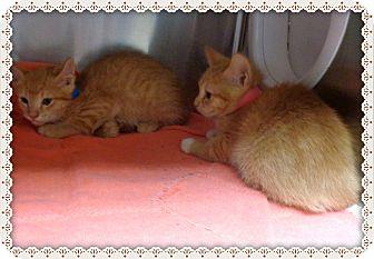 Domestic Shorthair Kitten for adoption in Marietta, Georgia - IO AND THEBE (R)