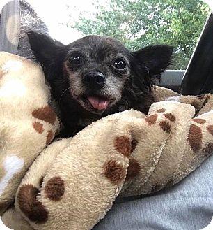 Chihuahua Dog for adoption in Columbus, Ohio - Carmie