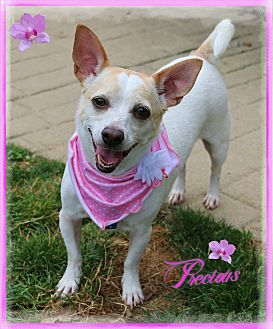 Chihuahua Mix Dog for adoption in Shippenville, Pennsylvania - Precious