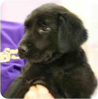 Labrador Retriever Puppy for adoption in Cumming, Georgia - Jingle