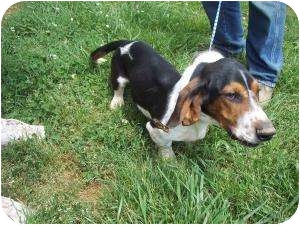 Basset Hound Mix Dog for adoption in Fairmount, Georgia - Tanner