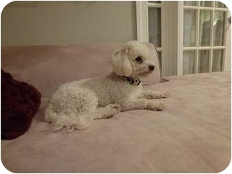 Poodle (Miniature)/Bichon Frise Mix Dog for adoption in Brookline, Massachusetts - Leela