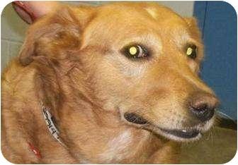Golden Retriever Mix Dog for adoption in Rapid City, South Dakota - Sunny