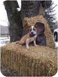 Australian Cattle Dog Mix Puppy for adoption in Marlton, New Jersey - Kora