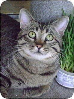 Domestic Shorthair Cat for adoption in Monrovia, California - Charming CHARLIE