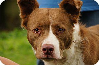 Australian Shepherd Mix Dog for adoption in Salem, Ohio - Rudolph