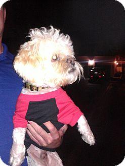 Poodle (Miniature)/Shih Tzu Mix Dog for adoption in Las Vegas, Nevada - Dale