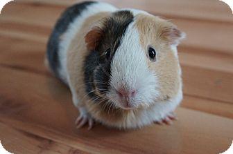 Guinea Pig for adoption in Brooklyn Park, Minnesota - Skittles