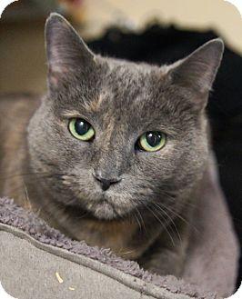 Domestic Shorthair Cat for adoption in Medford, Massachusetts - Daisy