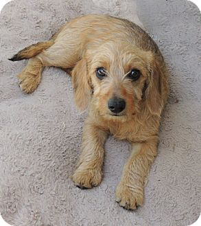 Dachshund/Cairn Terrier Mix Puppy for adoption in La Habra Heights, California - Sherry