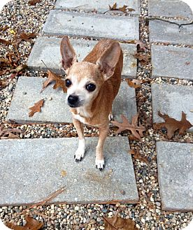 Chihuahua Mix Dog for adoption in Muskegon, Michigan - Nutmeg