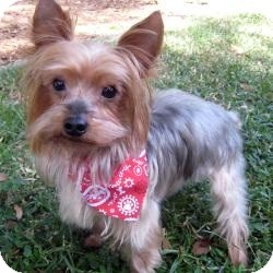 Yorkie, Yorkshire Terrier Dog for adoption in Leesburg, Florida - Rocky