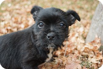 Boston Terrier/Shih Tzu Mix Puppy for adoption in Newark, Delaware - Celeste