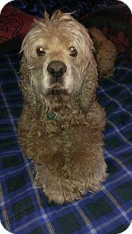 Cocker Spaniel Dog for adoption in Santa Barbara, California - Harry