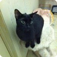 Domestic Shorthair Cat for adoption in St. James City, Florida - Teddy