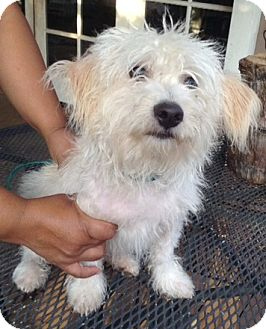 Glen of Imaal Terrier/Lhasa Apso Mix Dog for adoption in Santa Ana, California - Felix