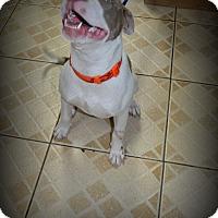 Adopt A Pet :: Crash - Miami, FL