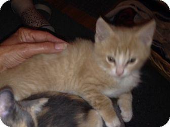 Domestic Shorthair Kitten for adoption in Huntley, Illinois - Chester