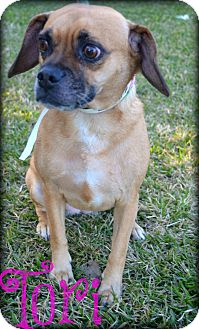 Pug Mix Dog for adoption in Beaumont, Texas - Tori