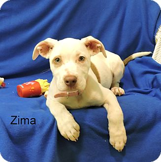 Pit Bull Terrier Mix Puppy for adoption in Slidell, Louisiana - Zima