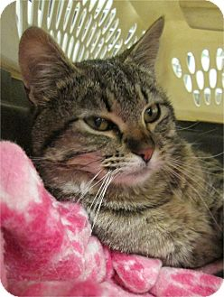 Domestic Shorthair Cat for adoption in Pueblo West, Colorado - Cloie