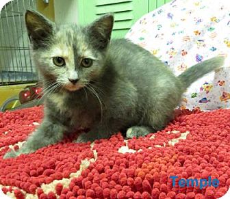 Domestic Shorthair Kitten for adoption in Georgetown, South Carolina - Temple