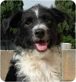 Jack Russell Terrier/Poodle (Miniature) Mix Dog for adoption in El Segundo, California - Riley