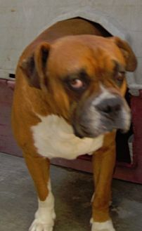 Boxer Mix Dog for adoption in San Diego, California - Chata