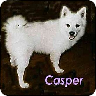 American Eskimo Dog Dog for adoption in Downey, California - Casper