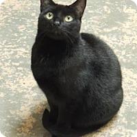 Domestic Shorthair Cat for adoption in Westville, Indiana - Pepsi aka Sanchez