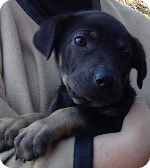 Redbone Coonhound/German Shepherd Dog Mix Puppy for adoption in Point Pleasant, Pennsylvania - DAPHNE