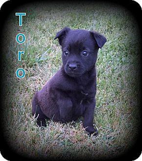 Retriever (Unknown Type) Mix Puppy for adoption in Denver, North Carolina - Toro