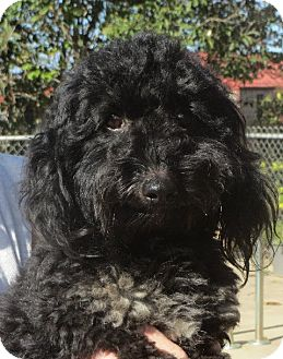 Lhasa Apso/Poodle (Miniature) Mix Dog for adoption in Rochester, New York - Nevil