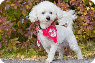 Bichon Frise Mix Dog for adoption in Lowell, Massachusetts - Casper