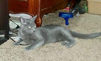 Domestic Shorthair Cat for adoption in Colmar, Pennsylvania - Bear