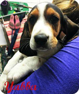 Treeing Walker Coonhound Puppy for adoption in Virginia Beach, Virginia - Yabba