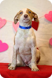 Redtick Coonhound Mix Puppy for adoption in Waldorf, Maryland - Ike