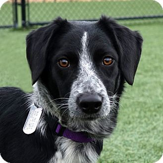 Blue Heeler Mix Puppy for adoption in Columbia, Illinois - Penny