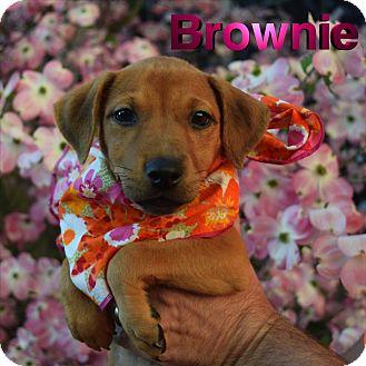 Terrier (Unknown Type, Medium) Mix Puppy for adoption in Washington, Pennsylvania - Brownie