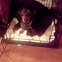 Dachshund Dog for adoption in Alva, Oklahoma - Doc