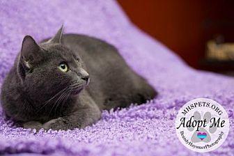 American Shorthair Cat for adoption in Lake City, Michigan - 2433