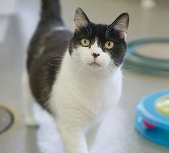 Domestic Shorthair Cat for adoption in Rocky Mount, Virginia - Wonder Kitty