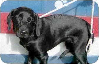 Labrador Retriever Mix Dog for adoption in Sacramento, California - Darla!