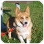 Photo 3 - Corgi/Welsh Corgi Mix Dog for adoption in Austin, Minnesota - Gopher
